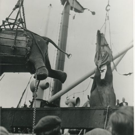 Mother elephantSita Devi falls out of her slingwhilst being unloaded with her daughter, but moth made it to Whipsnade Zoo | Museum in Docklands Project